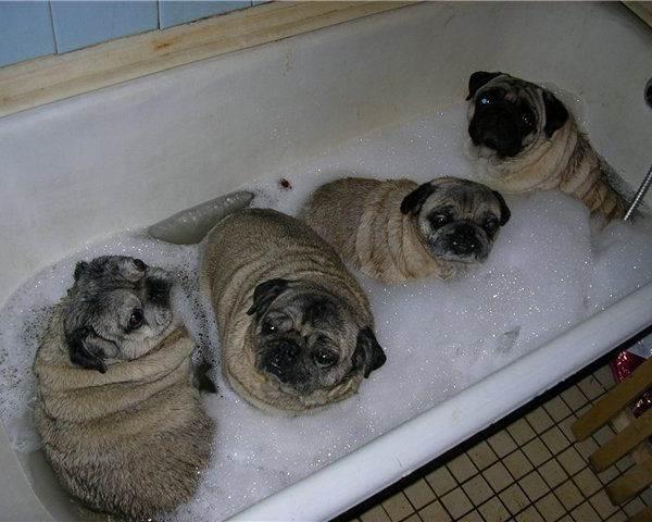 Bath Pug Pictures