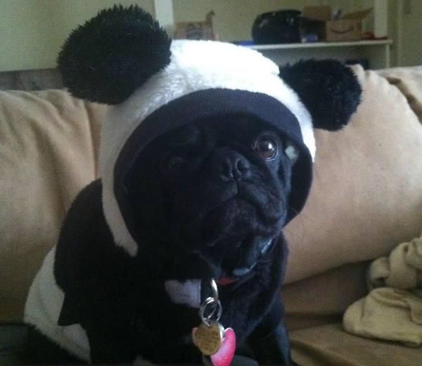Pug Pictures Black Pug