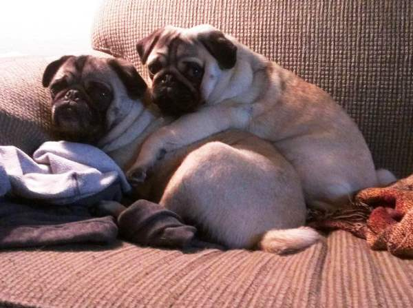 Pugs Caught In The Act