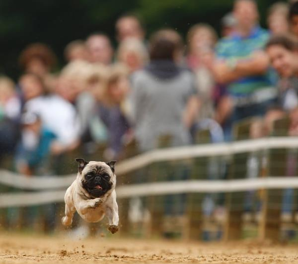 Pug Pictures Running