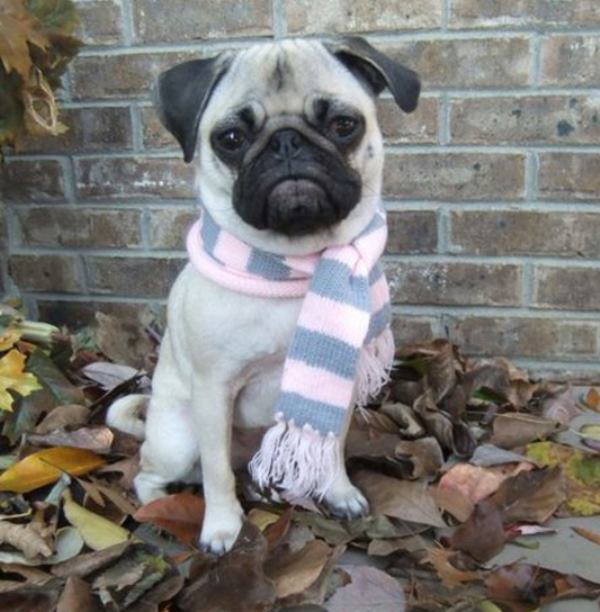 Pug Wearing A Scarf