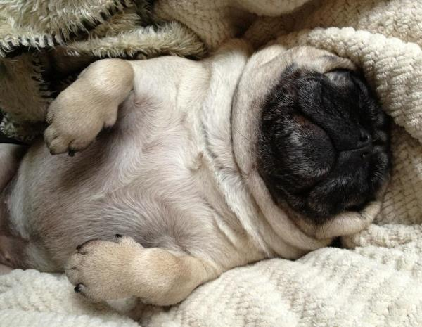 Pug Pictures Sleeping