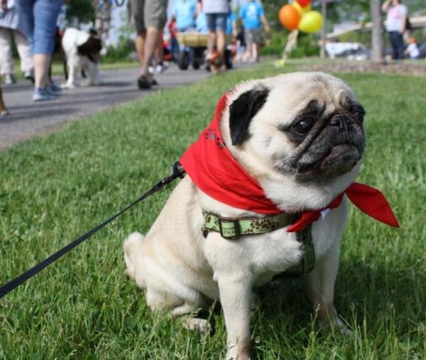 Pug Wearing Scarf
