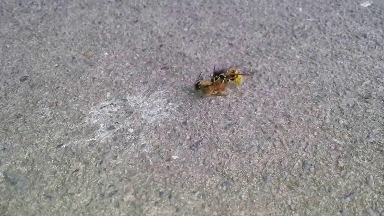 Wasp Cuts Bee In Half