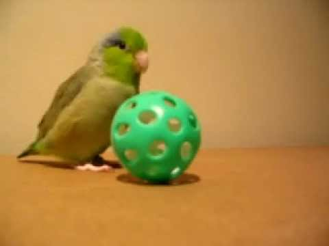 Adorable Parrot Loves Playing With A Ball