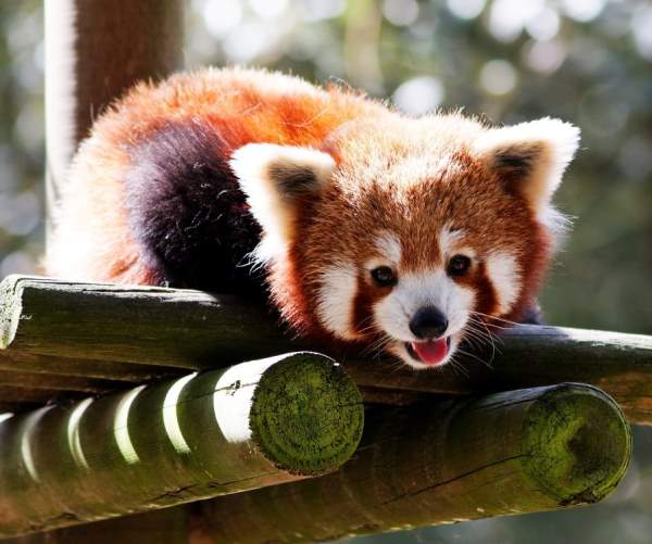 Adorable Red Panda Pictures
