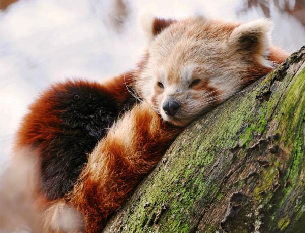 Adorable Red Panda Resting