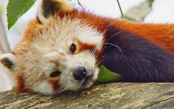 Adorable Red Panda