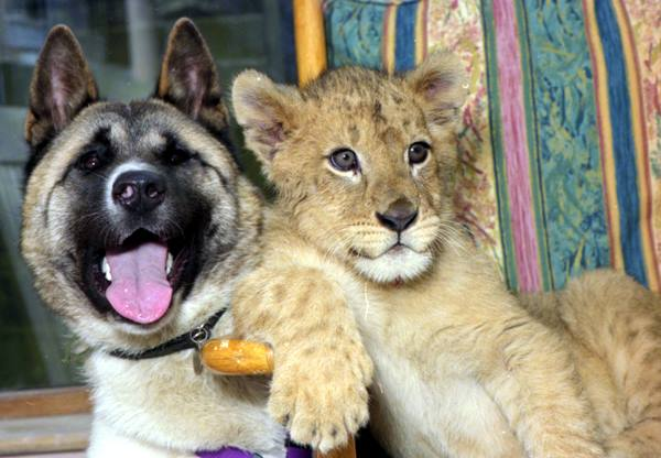 Animal Friendships Akita And Lion Cub