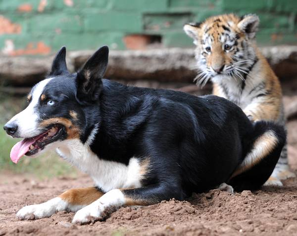 Animal Friendship Between Border Collie And Tiger