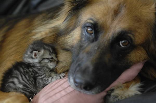 Animal Friendships Dogs And Kittens