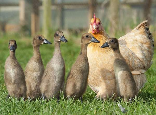 Animal Friendships Hen And Duck