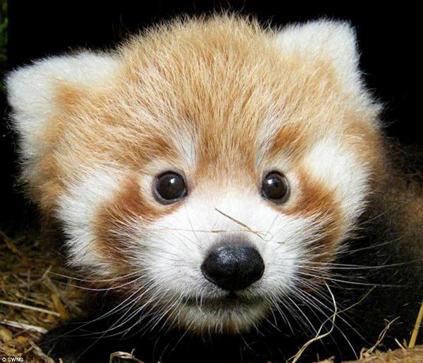 Baby Red Panda Photos