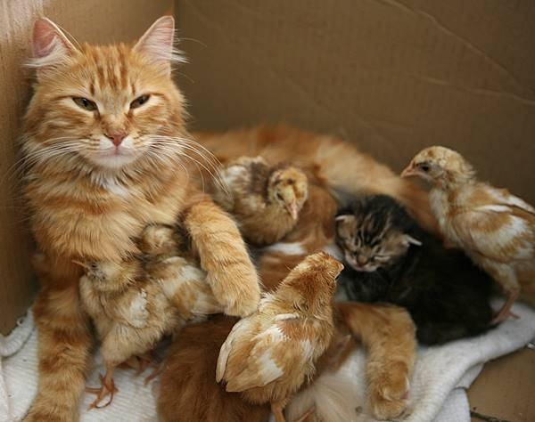 Cat And Baby Chicks