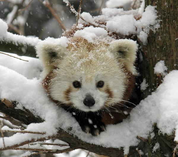 Cute Red Panda In Snow