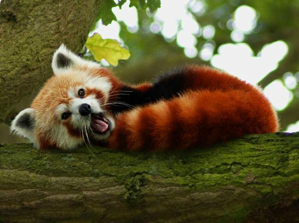 Cute Red Panda Photos Yawning