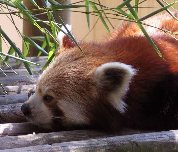Cute Red Panda Photos