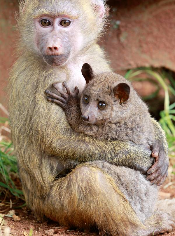 Baboon And Bushbaby