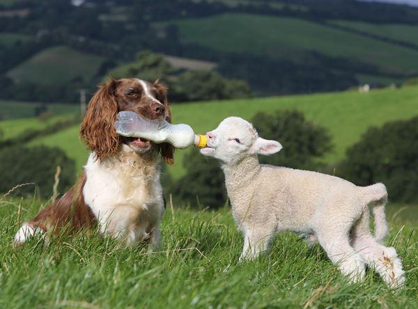 Springer Spaniel And Lamb Friend
