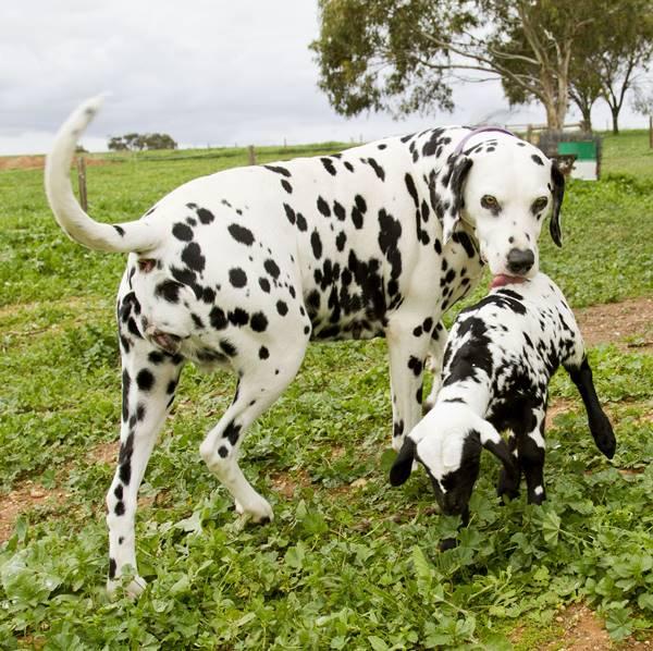 Dalmatian And Lamb Friendship