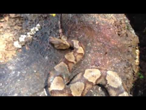 Video thumbnail for youtube video Decapitated Snake Bites Itself