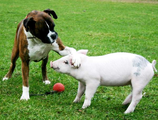 Dog Piglet Friends