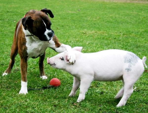 Dog Piglet Friends