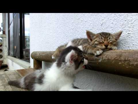 Video thumbnail for youtube video Kitten Tries To Wake Up His Friend