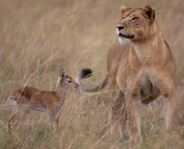 Lion Impala Cute Animal Friendships