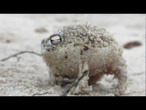 Video thumbnail for youtube video Meet The World's Cutest Frog