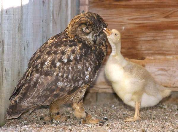 Owl And Gosling Friendship