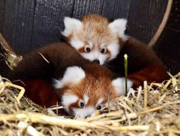Red Panda Babies Cuddling