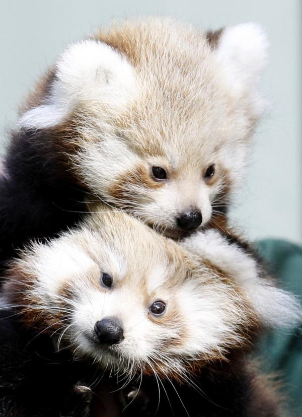 Red Panda Cubs Hugging