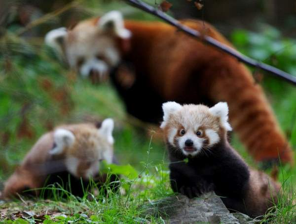 Red Panda Cub Photos