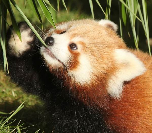 Red Panda Eating Cutely