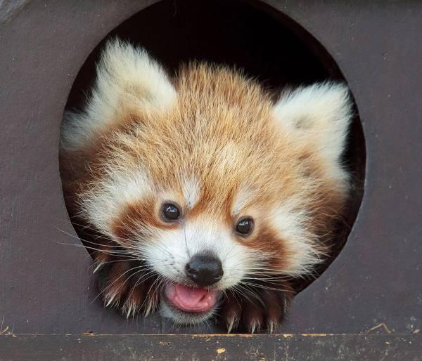 Red Panda Hey