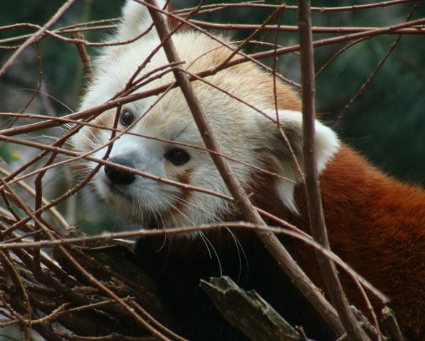 Red Panda Looking