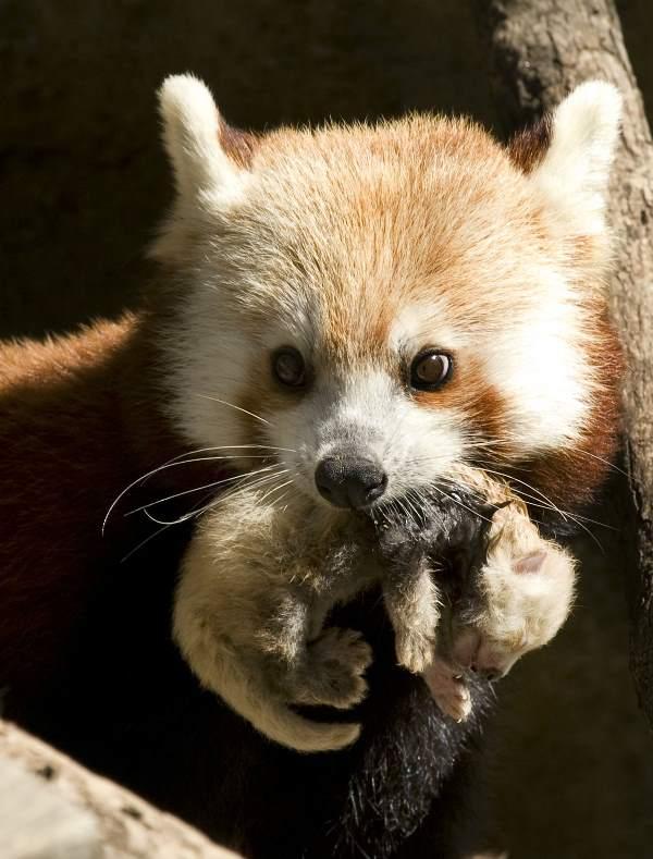 Red Panda Mom