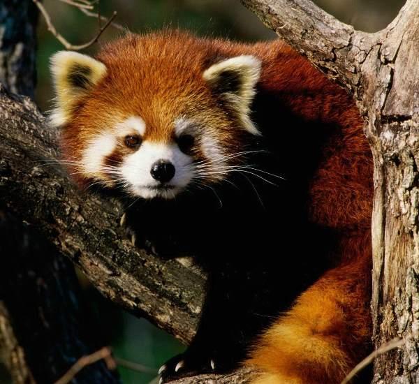 Red Panda Photographs Looking