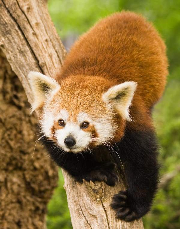 Red Panda Photos Climbing