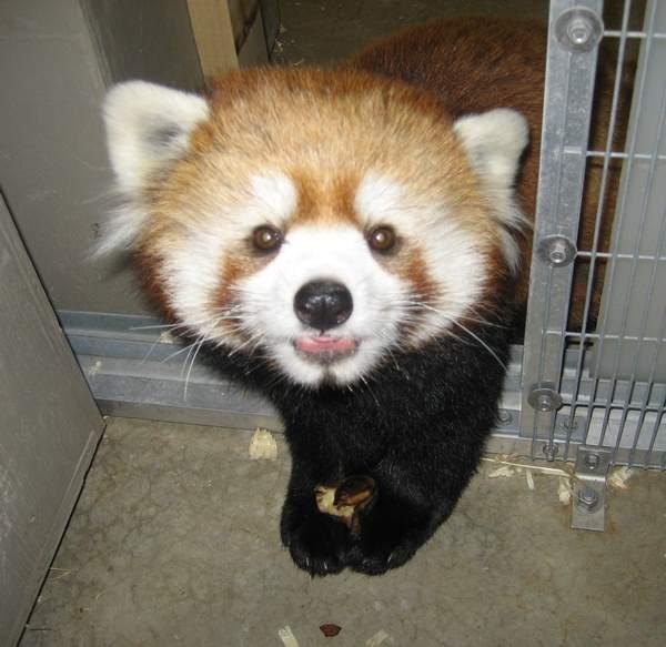 Red Panda Photos Cute