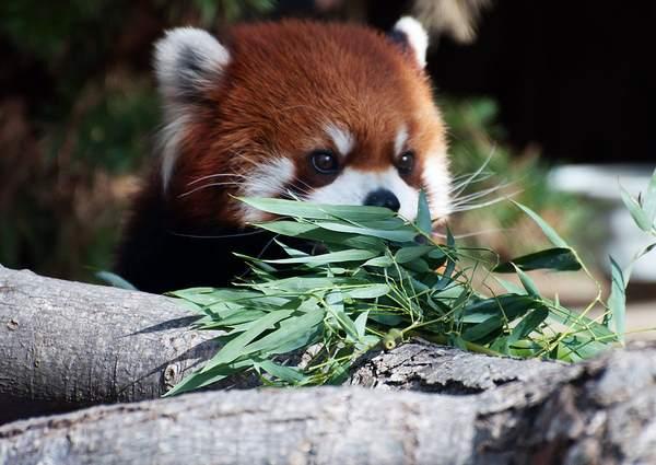 Red Panda Photos Eating