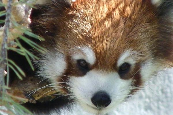 Red Panda Photos Face