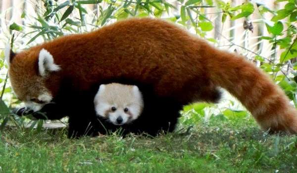 Red Panda Photos Family