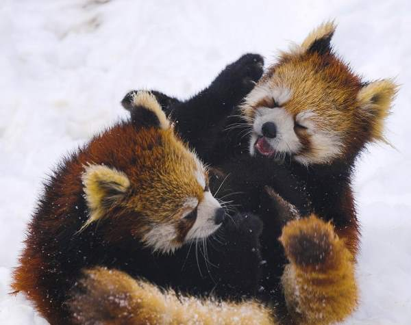 Red Pandas Fighting In Snow