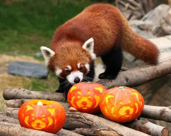 Red Panda Photos Halloween