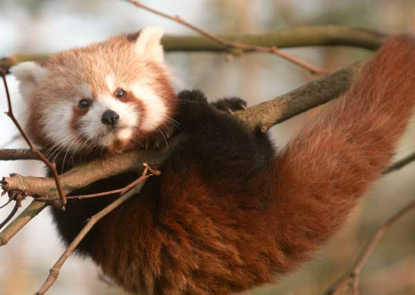 Red Panda Hanging Out