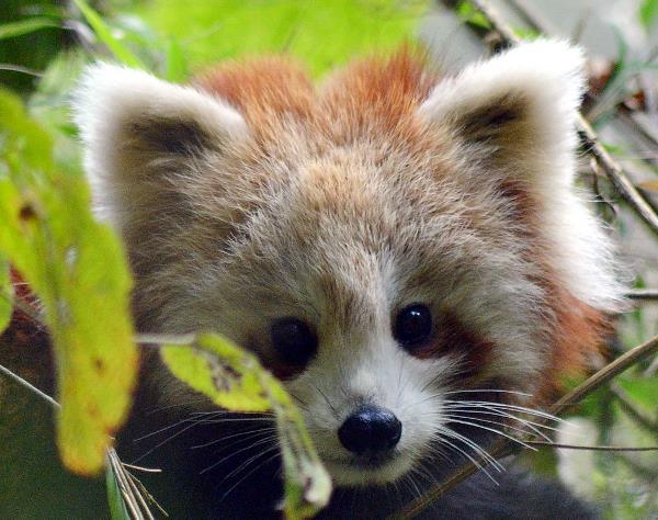 panda fuck red head