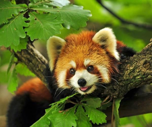 Red Panda Photos Smile