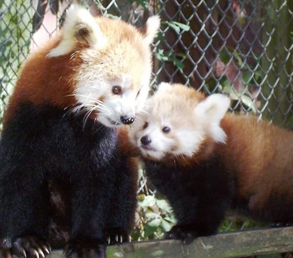 Red Panda Photos Sniffing